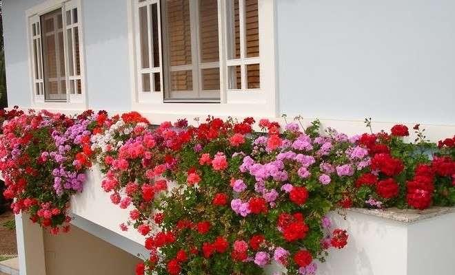 Geranio re indiscusso di balconi e terrazze